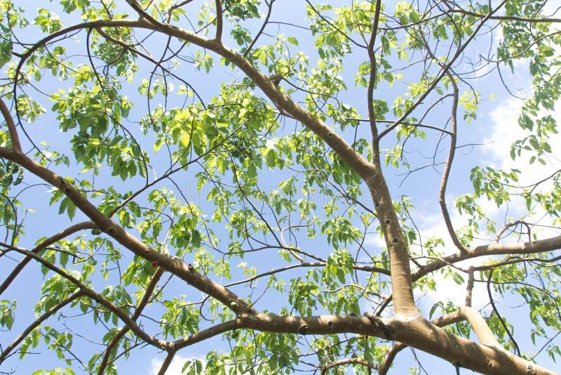 Branche d'arbre et feuilles vertes image libre de droits