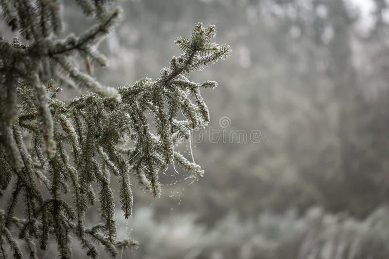 Branche d'arbre impeccable avec le givre photo libre de droits