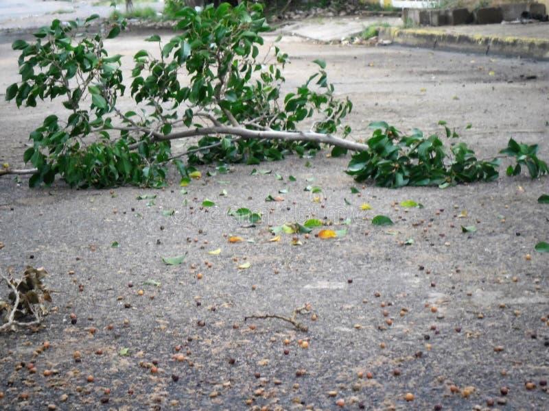 Branche d'arbre se bronzant après la tempête images stock