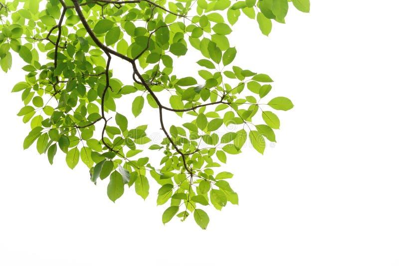 branche d 39 arbre sur le fond blanc image stock image du for t lame 32691043. Black Bedroom Furniture Sets. Home Design Ideas