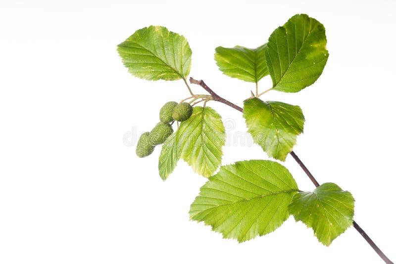 Branche d'aulne rouge avec des feuilles et des cônes image libre de droits