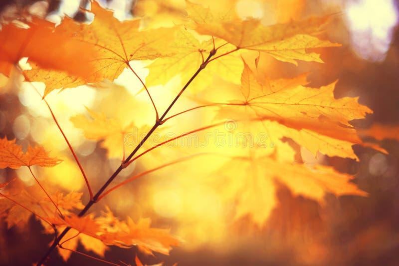 Branche d'automne des feuilles d'arbre d'érable Image modifiée la tonalité image stock