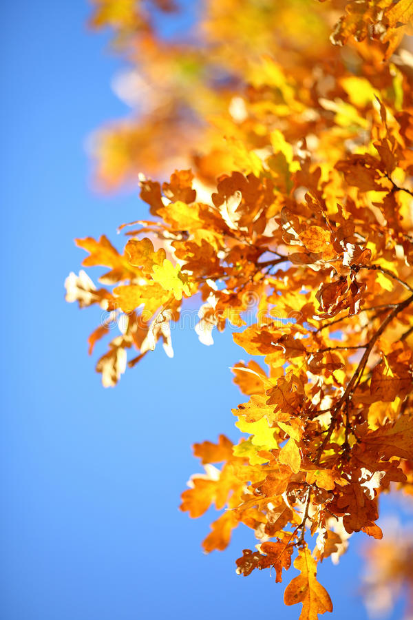 Branche d'or d'automne images stock