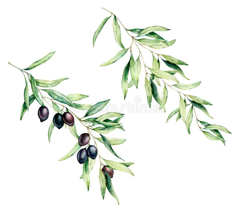 Branche d'olivier d'aquarelle réglée avec les olives noires et les feuilles Illustration florale peinte ? la main d'isolement sur illustration stock
