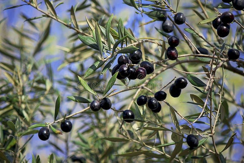 Branche d'olivier chargée avec les olives noires mûres photo libre de droits