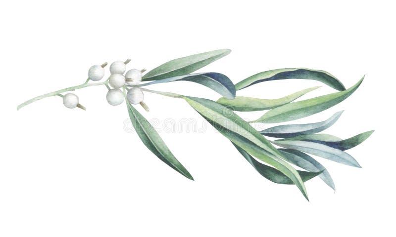 Branche d'olivier sauvage d'isolement sur le fond blanc Illustration d'aquarelle illustration libre de droits