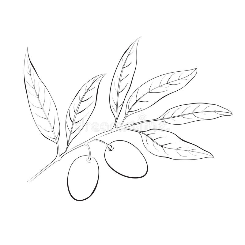 Branche d'olivier tirée par la main. illustration de vecteur