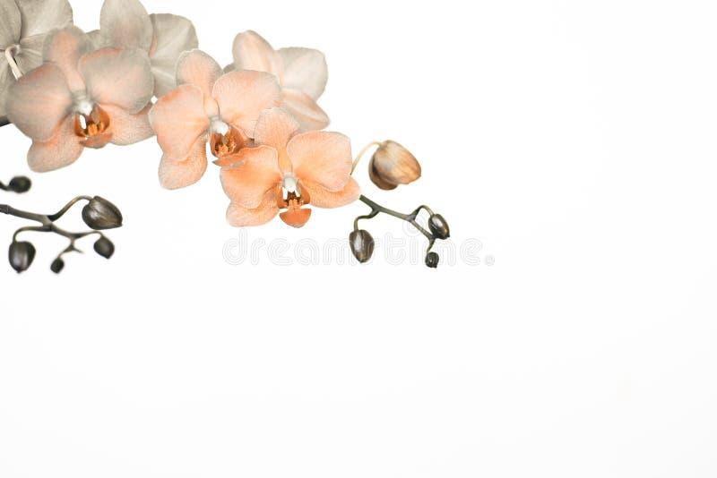 Branche d'orchidée dans des couleurs surréalistes sur le fond blanc avec l'espace de copie photographie stock libre de droits