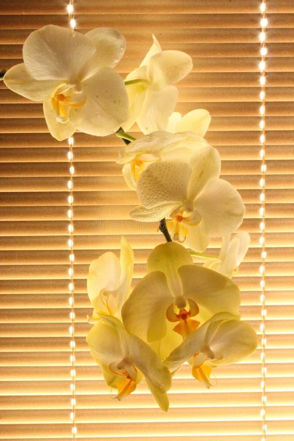 Branche d'orchidée tendre de floraison photos libres de droits