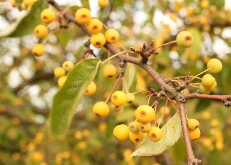 Branche d'un arbre avec les baies jaunes images libres de droits