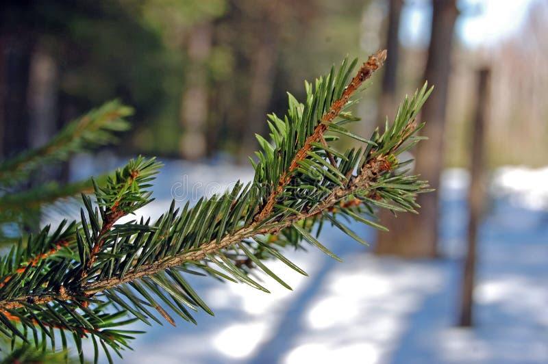 Branche d'un macro d'arbre conifére image stock
