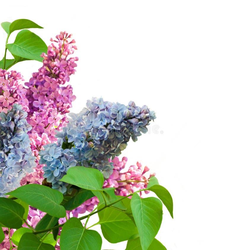 Branche d'un syringa multicolore photographie stock libre de droits