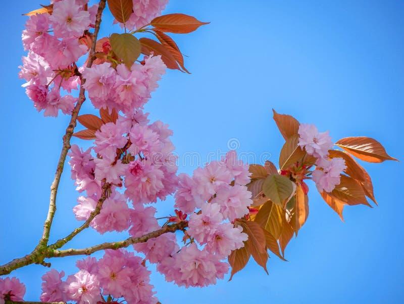 Branche d'une cerise japonaise de fleur - serrulata de Prunus photo libre de droits