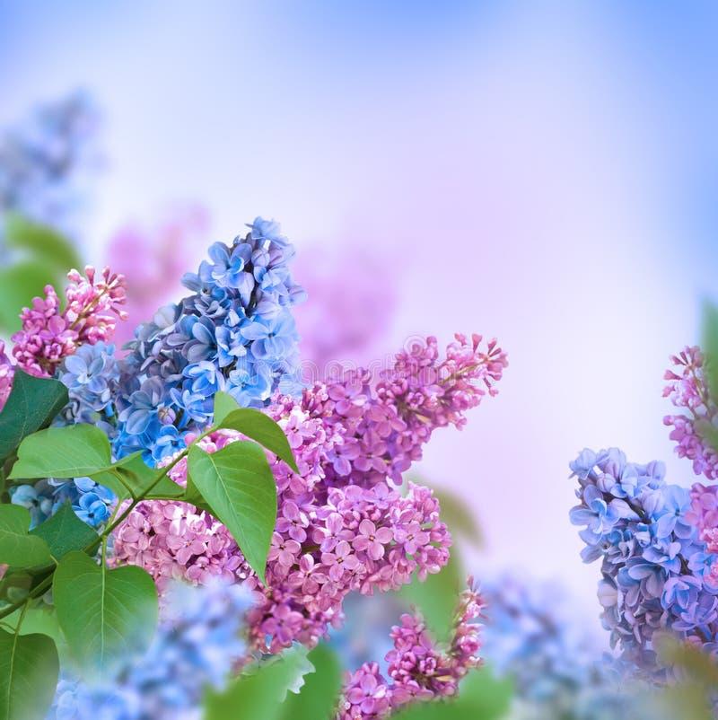 Branche de bleu et de rose photographie stock libre de droits