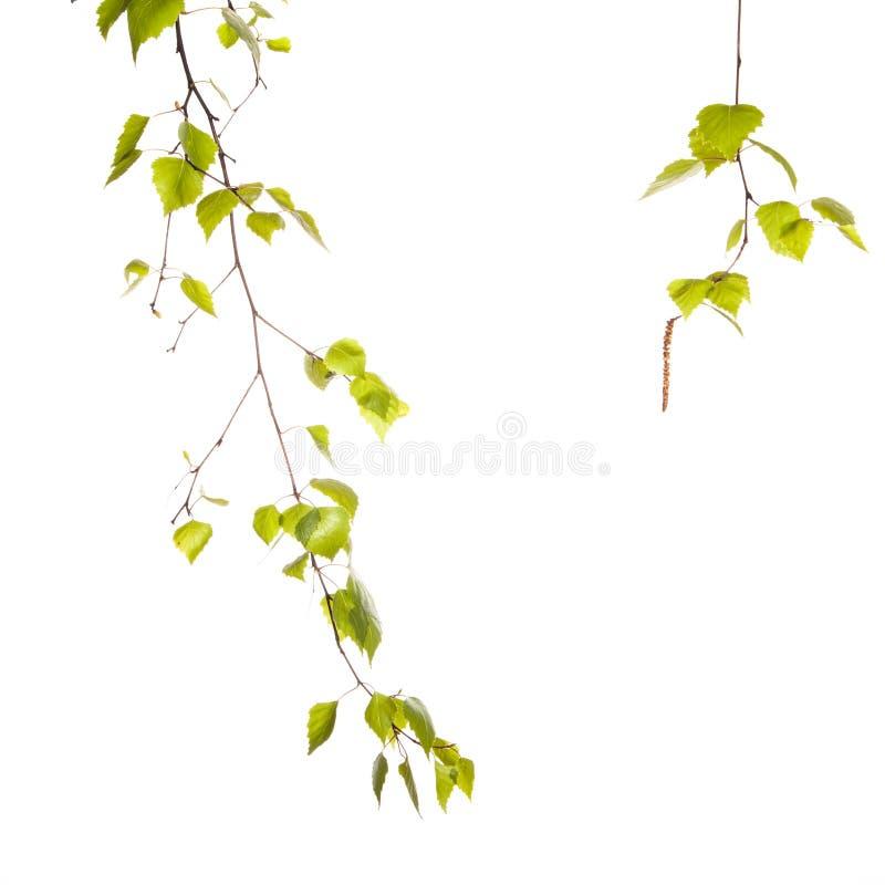 Branche de bouleau image libre de droits