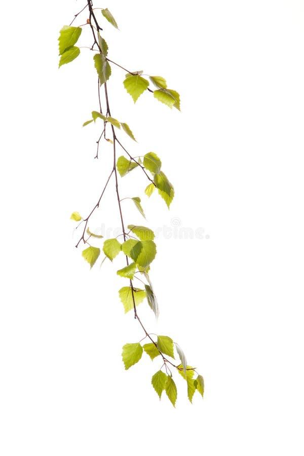 Branche de bouleau photo stock