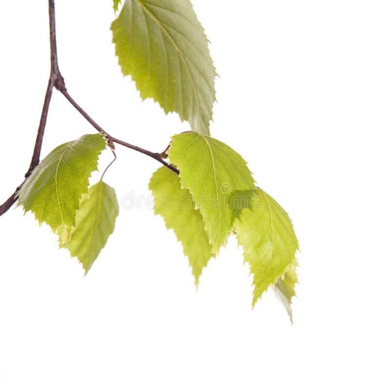Branche de bouleau photos stock