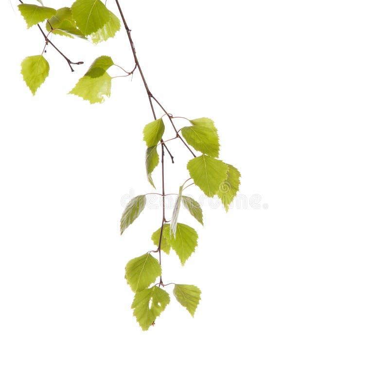 Branche de bouleau photo libre de droits