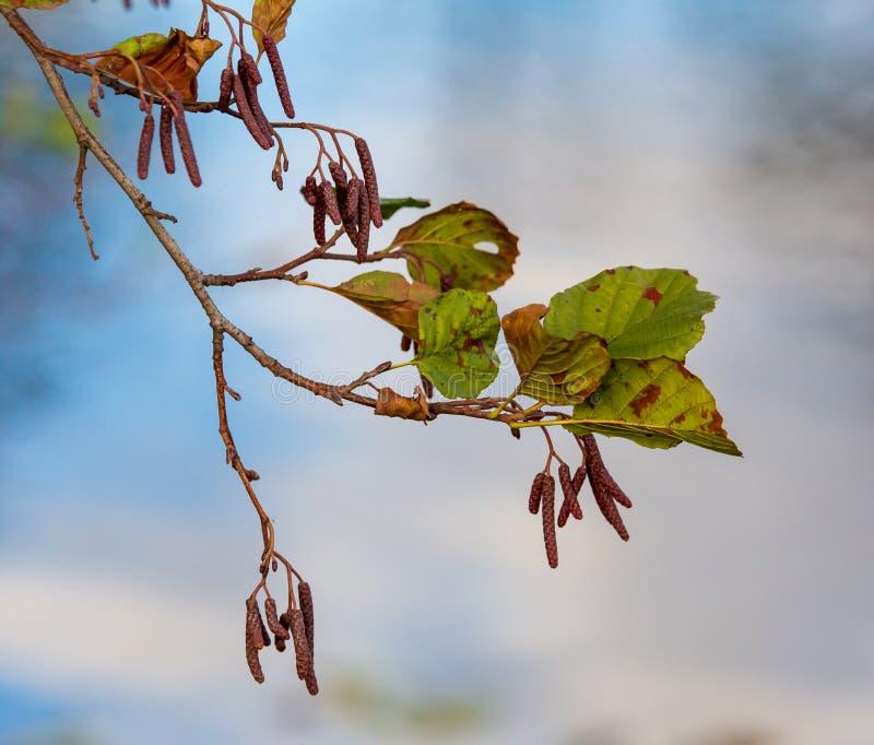 Branche de bouleau avec des feuilles en automne photos libres de droits