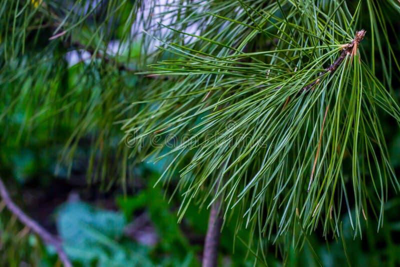 Branche de cèdre photo libre de droits