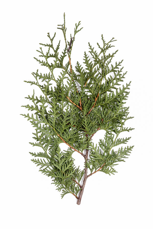 Branche de cèdre blanc d'occidentalis de Thuja d'isolement photographie stock
