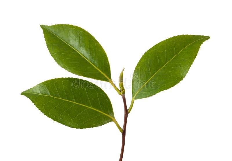 Branche de camélia images stock