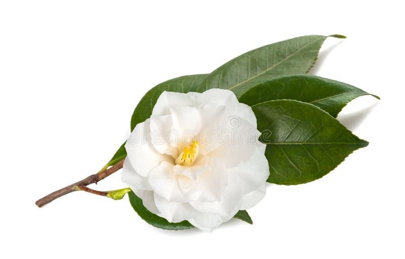 Branche de camélia avec la fleur image libre de droits