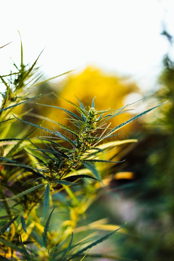 Branche de cannabis et de marijuana Ganja, bel arbre de chanvre photos stock