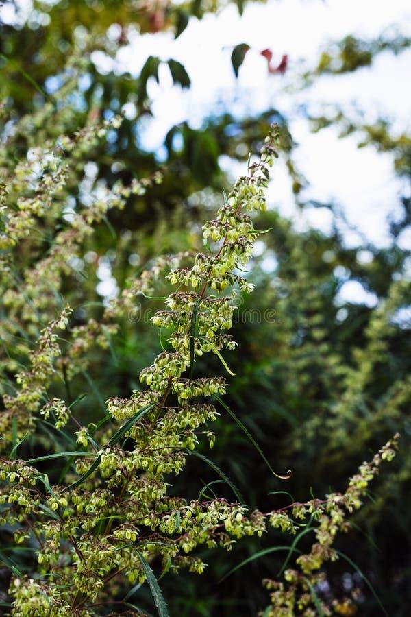 Branche de cannabis et de marijuana Ganja, bel arbre de chanvre photo libre de droits