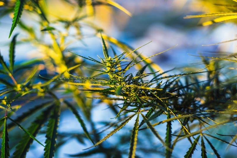 Branche de cannabis et de marijuana Ganja, bel arbre de chanvre photo stock