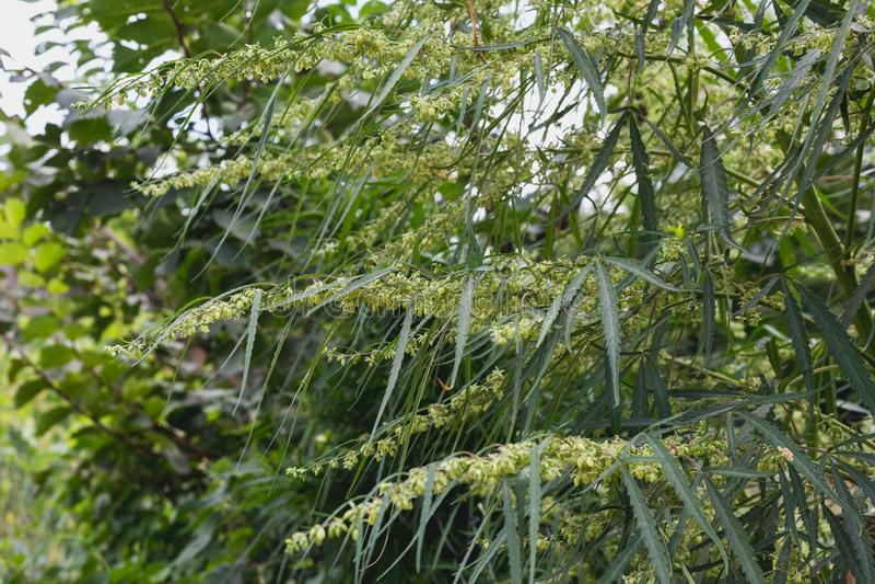Branche de cannabis et de marijuana Ganja, bel arbre de chanvre image stock