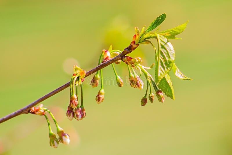 Branche de cerise avec des bourgeon floraux image libre de droits