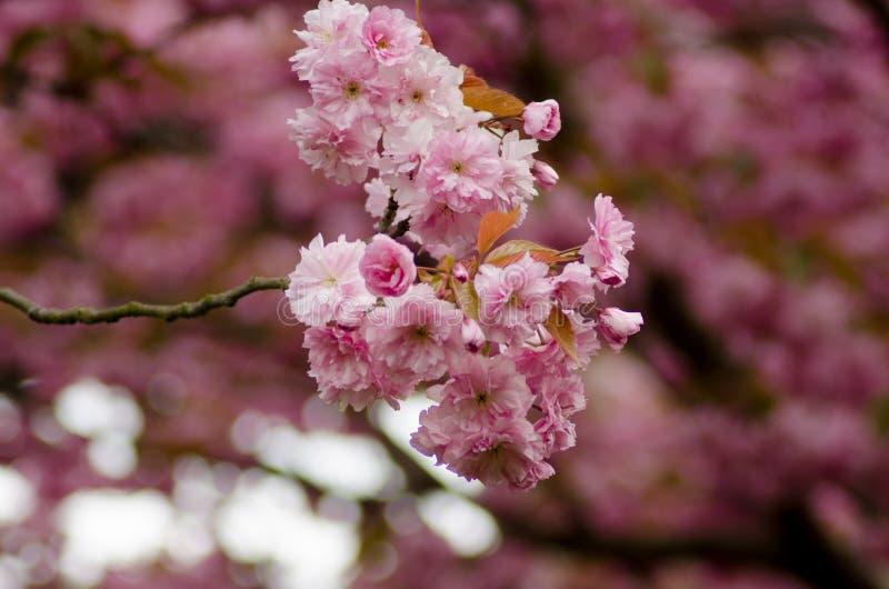 Branche de cerise japonaise rose dans la fleur photographie stock