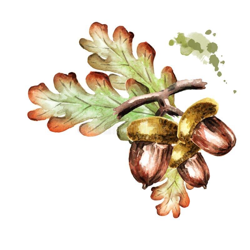 Branche de chêne avec des feuilles et des glands Illustration d'aquarelle illustration libre de droits