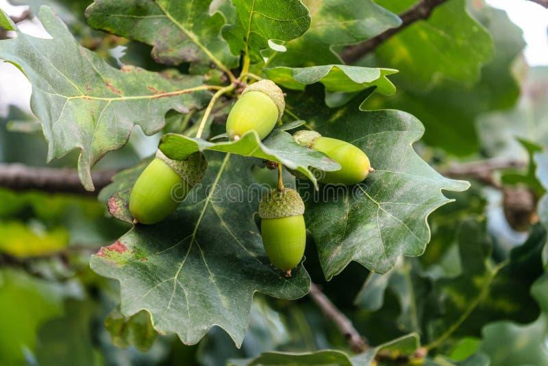Branche de chêne avec des glaces vertes à mûrissement en été photographie stock