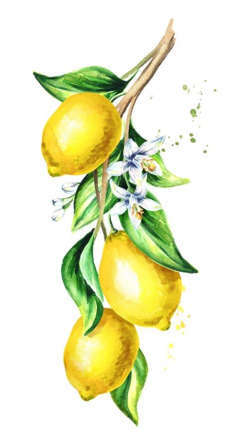 Branche de citron avec le fruit et les feuilles Illustration verticale tirée par la main d'aquarelle image libre de droits