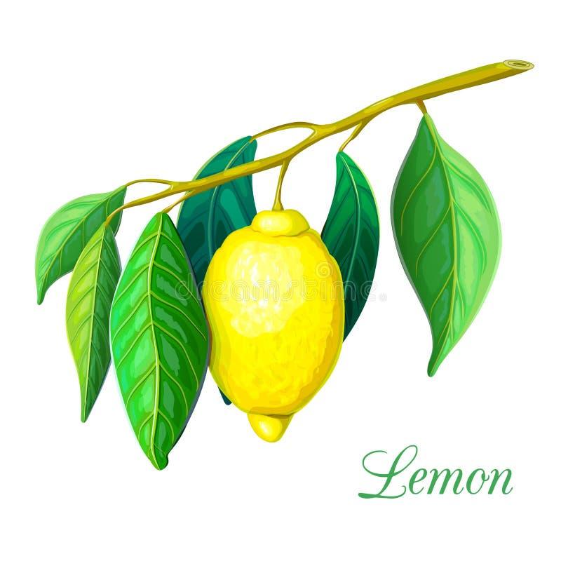 Branche de citronnier avec le citron jaune et les feuilles vertes d'isolement sur le blanc Illustration d'usine de citron tropica illustration libre de droits