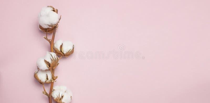 Branche de coton sur la vue supérieure étendue par appartement rose de fond Fleurs blanches sensibles de coton photos stock