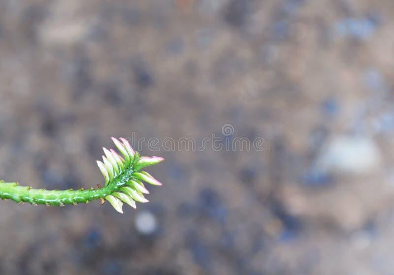 Branche de courbe de cactus de Redbird dans le jardin image stock