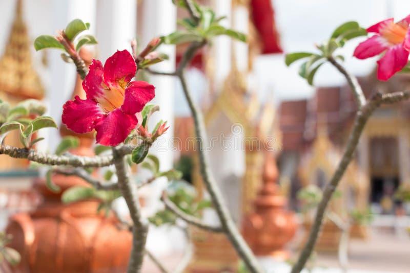 Branche de fleur d'Adenium avec l'architecture de temple bouddhiste photos stock