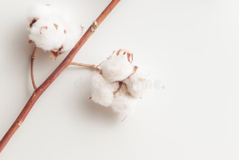Branche de fleur d'usine de coton sur le fond blanc photographie stock libre de droits