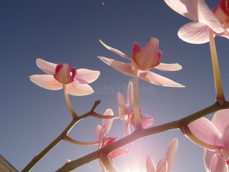 Branche de fleur rose d'orchidée dans la perspective du ciel bleu et du Sun lumineux photos libres de droits