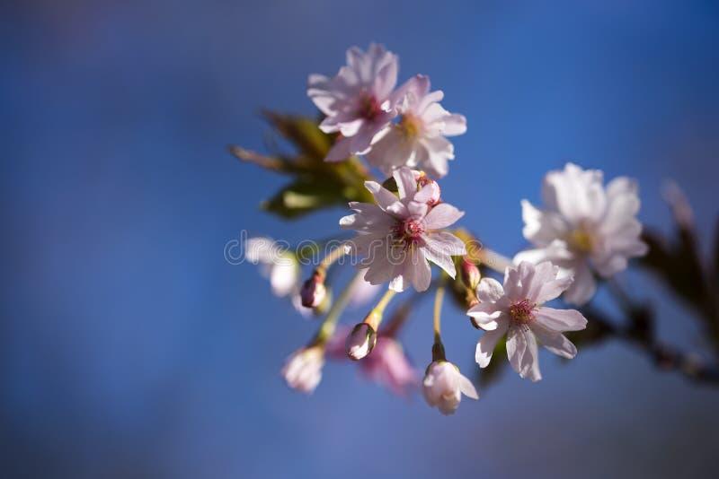 Branche de fleurs de cerisier avec le subhirtella rose blanc de Prunus de pétales image libre de droits