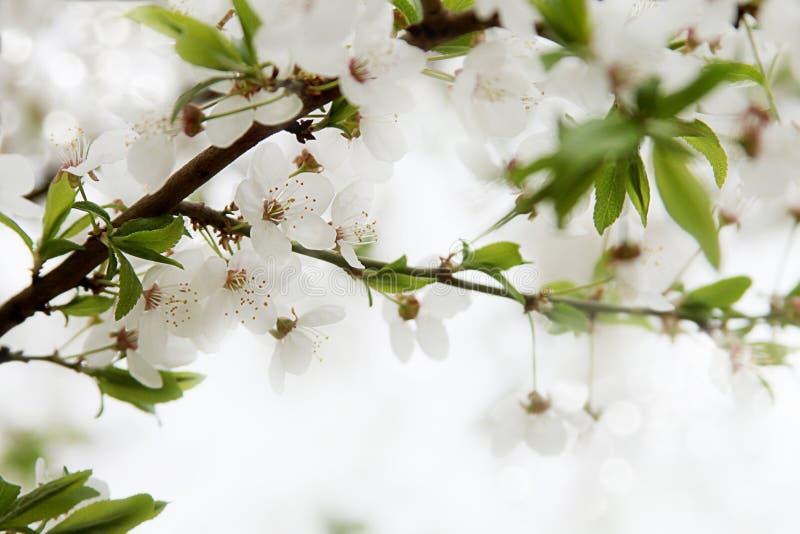 Branche de fleurs de cerisier de ressort images libres de droits
