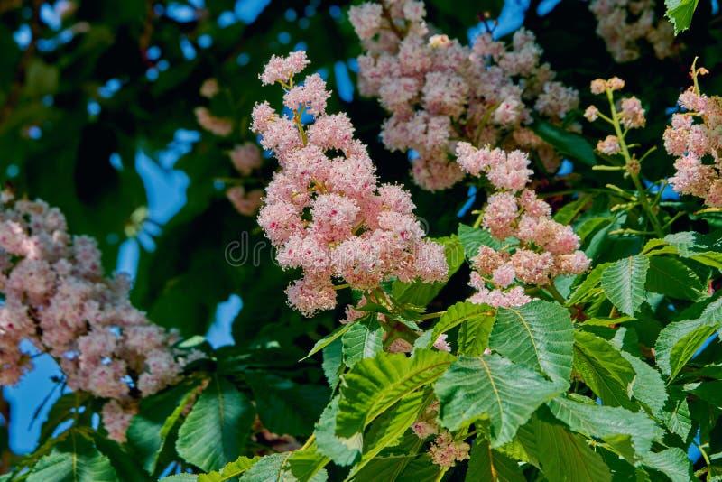 Branche de floraison d'un arbre de châtaigne photographie stock libre de droits