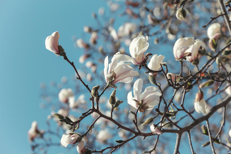 Branche de floraison de kobus de magnolia photographie stock libre de droits
