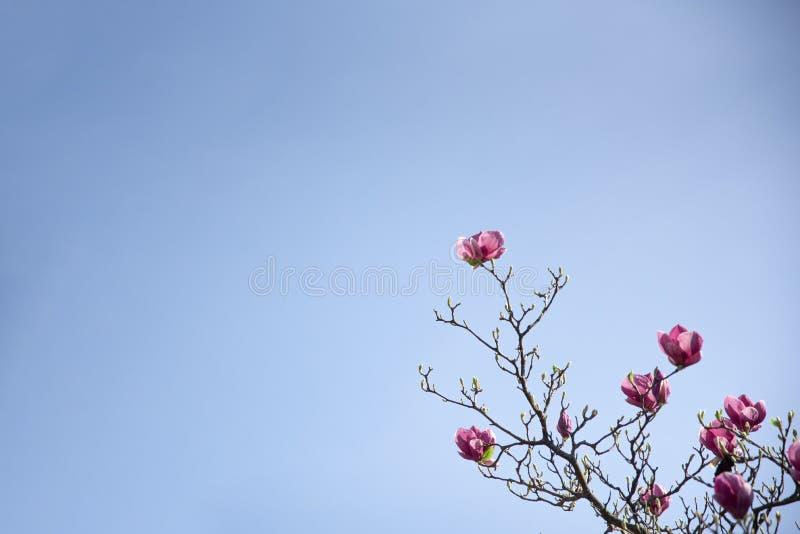 Branche de floraison de magnolia sur le fond de ciel bleu photo libre de droits