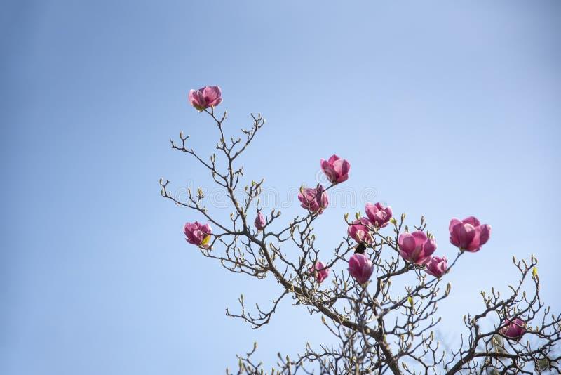Branche de floraison de magnolia sur le fond de ciel bleu images stock