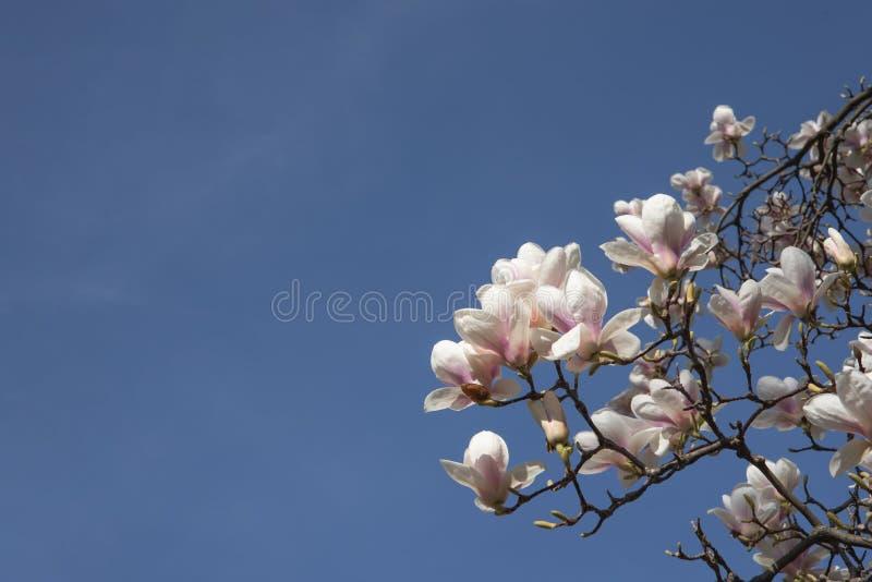 Branche de floraison de magnolia sur le fond de ciel bleu photos libres de droits