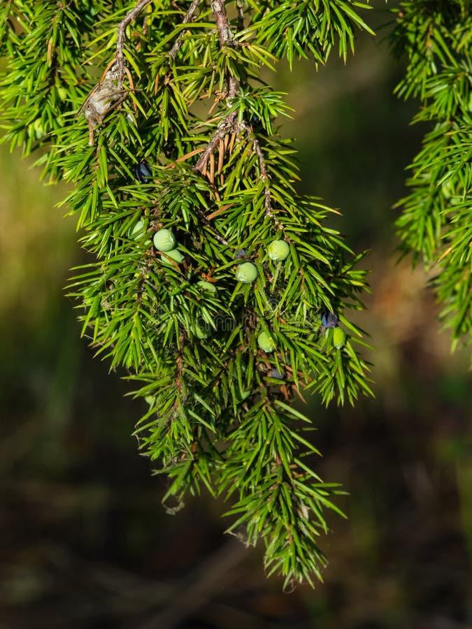 Branche de genévrier avec les cône-baies riping vertes sur le fond de bokeh, foyer sélectif, DOF peu profond image libre de droits